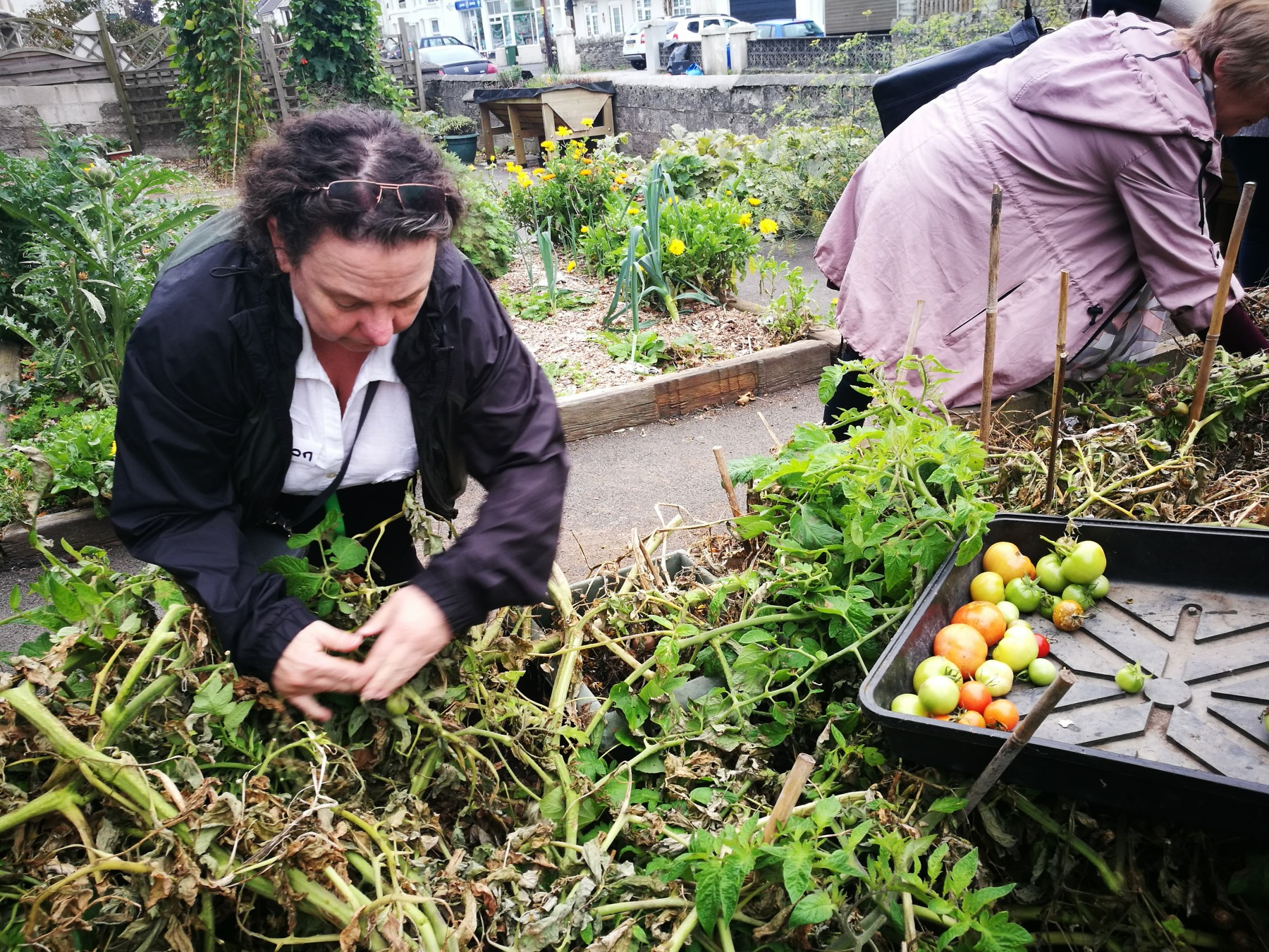 Woman picking tomatoes at a community garden